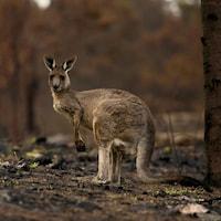Un kangourou à côté d'un tronc d'arbre.