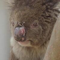 Gros plan d'un koala blessé au museau.