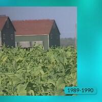 Champs de production de feuilles de tabac.