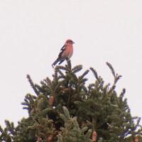 Un bec-croisé bifascié au sommet d'un arbre résineux dont les branches sont fournies de cônes.