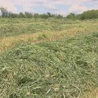 Du foin fauché disposé en andains sur le sol d'un champ agricole.
