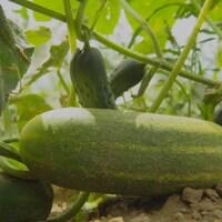 Un concombre trop gros pour la production de cornichons.