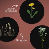 Le laiteron des champs, la sétaire, le phragmite et la berce du Caucase sont des plantes exotiques envahissantes.