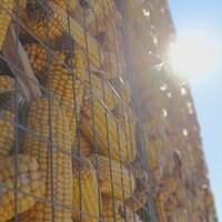 Des épis de maïs mis à sécher dans un crib au soleil.