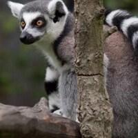 Un lémurien de Madagascar sur une branche.