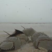 On voit des limules sur la plage qui se dirigent vers le large.