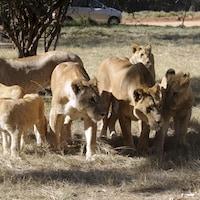 Des lions ont dévoré des braconniers de rhinocéros en Afrique du Sud.