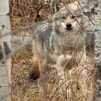 Un chien-loup en pleine nature au refuge Yamnuska Wolfdog Sanctuary.