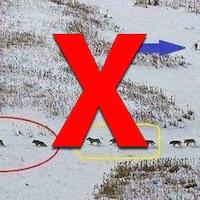 Nous voyons 25 loups marcher à la queue leu leu dans la neige. Ils semblent divisés en plusieurs groupes. Trois loups marchent ensemble à l'avant, suivi d'un groupe de cinq loups regroupés. Viennent ensuite 11 loups, puis un autre groupe de cinq. À la fin de la file, un seul loup marche seul.