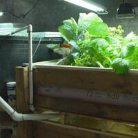 Culture de laitues et de poissons en aquaponie dans une maison de Montréal.