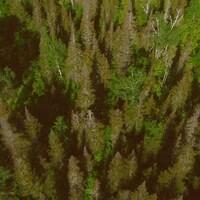 La tordeuse attaque les forêts du Québec et du Nouveau-Brunswick.