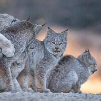 Des lynx au pelage gris.