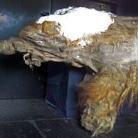 Le jeune mammouth qui a vécu en Sibérie il y a environ 28 140 ans a été surnommé Yuka.