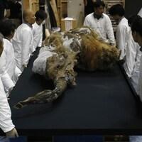 Les restes d'une jeune femelle mammouth découverte en Sibérie.