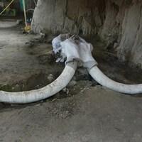 Les restes d'un mammouth.