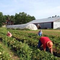Des cueilleurs dans un champ de fraises