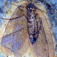 Une photo d'un insecte fossilisé.