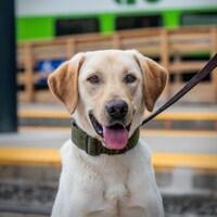 Photo d'un chien la langue sortie attachée à une laisse