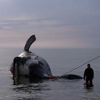 Une baleine noire trouvée morte dans le golfe du Saint-Laurent.