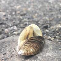 Une moule zébrée reposant sur une pierre.
