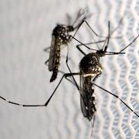 Des moustiques Aedes aegypti observés dans le laboratoire d'Oxitec à Campinas, au Brésil.