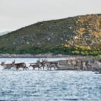 Des caribous quittent la rive pour marcher dans une rivière. Derrière eux, une montage rocheuse est illuminée par le soleil.