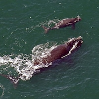 Les experts ont observé sept baleineaux cette année, dans les eaux de la Floride et de la Géorgie.