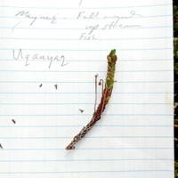 Une branche est posée sur une feuille de papier sur laquelle figure son nom en inuinnaqtun.