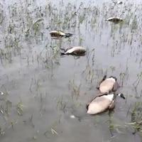 Des oiseaux morts flottent sur l'eau.