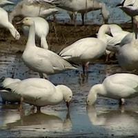 Des oies blanches mangent des plantes dans les marais du Cap-Tourmente.