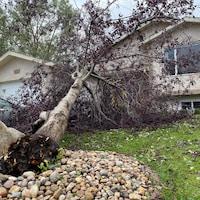 Un arbre arraché, couché dans le jardin d'une maison à Regina