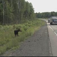 Un orignal sur le bord de la route 11 au Nouveau-Brunswick.