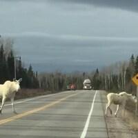 Deux orignaux blancs sur la route.