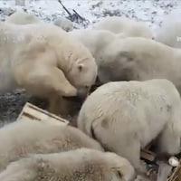 Bien que les ours polaires soient souvent observés dans l'Extrême-Arctique russe, leur audace a pris beaucoup de gens par surprise.