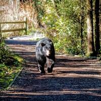 Un ours déambule dans le sentier d'un parc de Coquitlam.