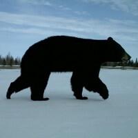 Un ours noir marchant sur la neige.