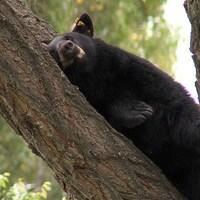 Un ours noir est allongé sur la branche d'un arbre.