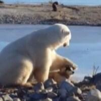 Un ours polaire flatte un chien Inuit