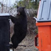 Un ours se nourrit à même les poubelles.