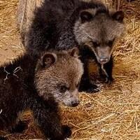 Plan serré de trois petits oursons grizzlys sur de la paille.