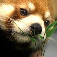 Un panda roux sent une branche de bambou.