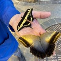 M. Chaput tient dans sa main deux papillons morts.