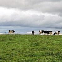 Plusieurs vaches au champ.