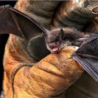 Une chauve-souris serrée dans une main gantée