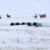 Des cerfs se promènent autour de tuyaux entreposés pour la construction du pipeline.
