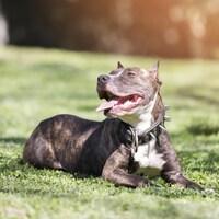 Un pitbull est étendu sur le gazon, la gueule ouverte et la langue sortie.