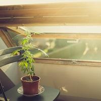Un plant de cannabis posé sur une chaise au soleil près d'une fenêtre ouverte.