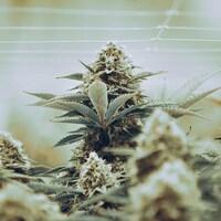 Un plant de cannabis.