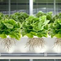 Dans un système de production aéroponique, les racines des plantes pendent dans les airs et sont aspergées périodiquement d'une fine brume d'eau et de nutriments.