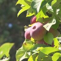 Des pommes dans un arbre.